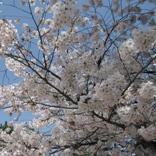 '10.04.06奈良桜05.jpg