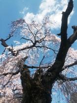 桜00.jpg