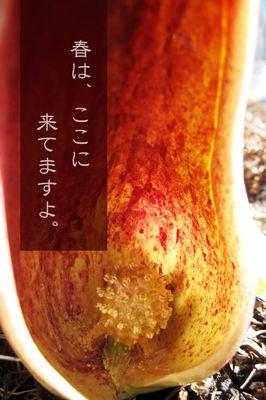 ザゼンソウ00 - コピー.JPG